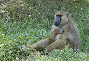 Yellow baboon - P. cynocephalus in Amboseli National Park, Kenya