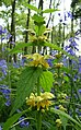 Yellow archangel - geograph.org.uk - 170420.jpg