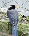 Yellow billed Blue Magpie I4 IMG 2895.jpg