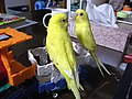 Yellow domesticated budgerigars 2.jpg