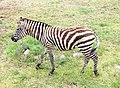 Yerevan Zoo - zebra.jpg