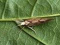 Ypsolopha sarmaticella (40476004835).jpg