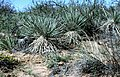 Yucca campestris fh 1179.82 BB.jpg