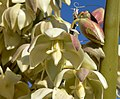 Yucca schidigera 22.jpg