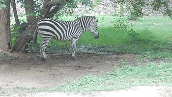 Zebra at Chhatbir Zoo.jpg