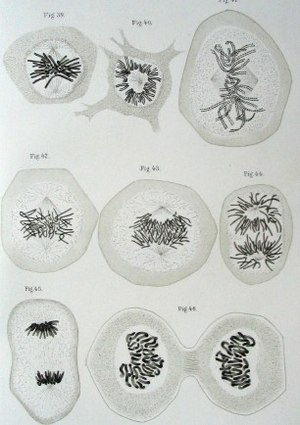 Walther Flemming - Illustrations of cells with chromosomes and mitosis, from the book Zellsubstanz, Kern und Zelltheilung, 1882