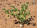 Zygophyllum eremeaum.jpg