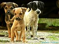 """""""The average dog is a nicer person than the average person."""" - Andy Rooney - Flickr - Dr. Santulan Mahanta.jpg"""