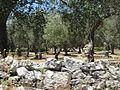 """"""" 12 - ITALY - muro a secco ( Dry stone wall ) e ulivi ( Olea europaea ) nel Salento (ITALIA).JPG"""