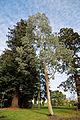 'Eucalyptus pauciflora' niphophila - Beale Arboretum - West Lodge Park - Hadley Wood - Enfield London.jpg
