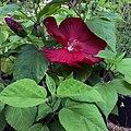 'Luna Red' hibiscus IMG-7700.jpg