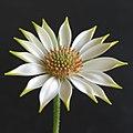 'Plant-Osteospermum ecklonis-Spaanse margriet-05.jpg