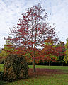 'Quercus palustris' Pin Oak - Beale Arboretum - West Lodge Park, Hadley Wood Enfield London.jpg