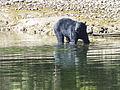 'Vancouver Island Black Bear', Ursus americanus (9383149229).jpg