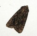 (2145) The Nutmeg (Discestra trifolii) (4820983825).jpg