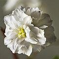(MHNT) Spiraea cantoniensis f plena - Flower.jpg
