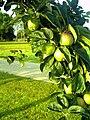 Äpfel in Vörstetten - panoramio.jpg