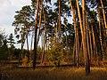 Граница реликтового и посаженного леса на боровой террасе в районе озера Белое.jpg