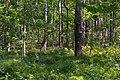 Дубово-березовий ліс у Мельницькому.jpg