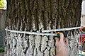 Дуб «Тернопільський» - Вимірювання обхвату - 17052576.jpg