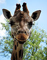 Жираф, зоопарк Ростов-на-Дону.jpg