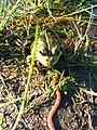 Лягушка на охоте.jpg