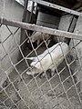 Свиньи 2.jpg