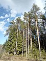 Сосны - panoramio (43).jpg