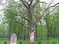 Сухой дуб в Гурьевском парке - panoramio.jpg