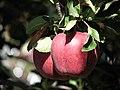 سیب سهند کویده دی(کرده ده).jpg
