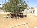 مجموعة غزلان تحتمي من الشمس في حديقة حيوان طرابلس.jpg