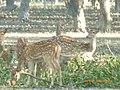 গাছ থেকে ভেংগে দেওয়া পাতা খেতে এসেছে একদল হরিণ.jpg
