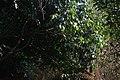 കായാമ്പൂ- നീലിയാർകോട്ടം, മാങ്ങാട്ട്പറമ്പ് 06.JPG