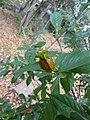 コクチナシ(小梔子)(Gardenia jasminoides Ellis var. radicans Makino)-実02 (5844531141).jpg