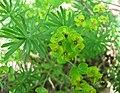 乳漿大戟 Euphorbia esula -華沙大學植物園 Warsaw University Botanic Garden- (36063734480).jpg