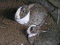 北播磨余暇村公園で飼われているウサギP3213297.JPG