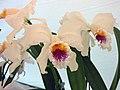 卡特蘭屬 Cattleya mossiae -香港青松觀蘭花展 Tuen Mun, Hong Kong- (9229778086).jpg