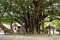 古榕 Old Banyan - panoramio.jpg