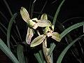 寒蘭神州第一梅 Cymbidium kanran 'China First Prune' -香港沙田國蘭展 Shatin Orchid Show, Hong Kong- (12304130453).jpg