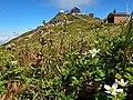 山頂付近に咲くハクサンイチゲ.jpg