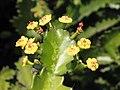 恩根石化大戟 Euphorbia ingens -香港嘉道理農場 Kadoorie Farm, Hong Kong- (9213306687).jpg