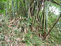 慶福里燥坑之麻竹 - panoramio.jpg