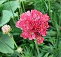 海石竹 Armeria maritima -上海國際花展 Shanghai International Flower Show- (16731797994).jpg