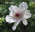 牡丹-白鶴迎春 Paeonia suffruticosa 'White Crane Greeting Spring' -武漢東湖牡丹園 Wuhan, China- (12478260314).jpg