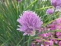 硬皮蔥 Allium ledebourianum -哥本哈根大學植物園 Copenhagen University Botanical Garden- (36871613992).jpg