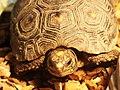 紅腿象龜 Chelonoidis carbonaria - panoramio (2).jpg