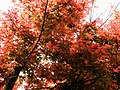 紅葉 Red Leaves - panoramio (1).jpg