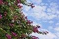 羊蹄甲 Orchid Tree - panoramio.jpg