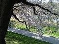 背割堤 - panoramio (6).jpg