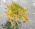 菊花-花田試馬 Chrysanthemum morifolium 'Testing Horse in Flower Field' -香港圓玄學院 Hong Kong Yuen Yuen Institute- (12065009574).jpg